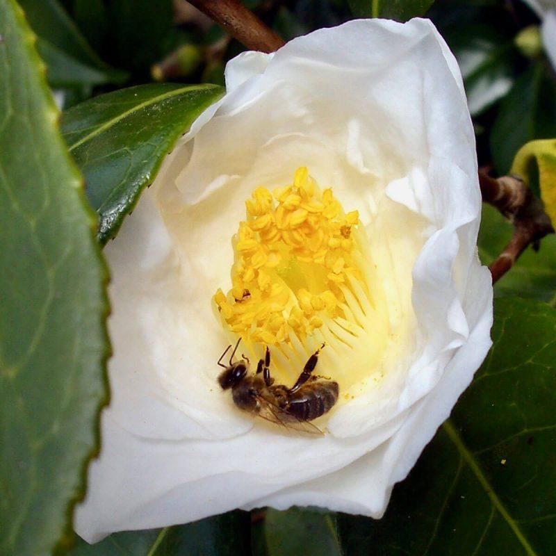 Bee attracting pollen